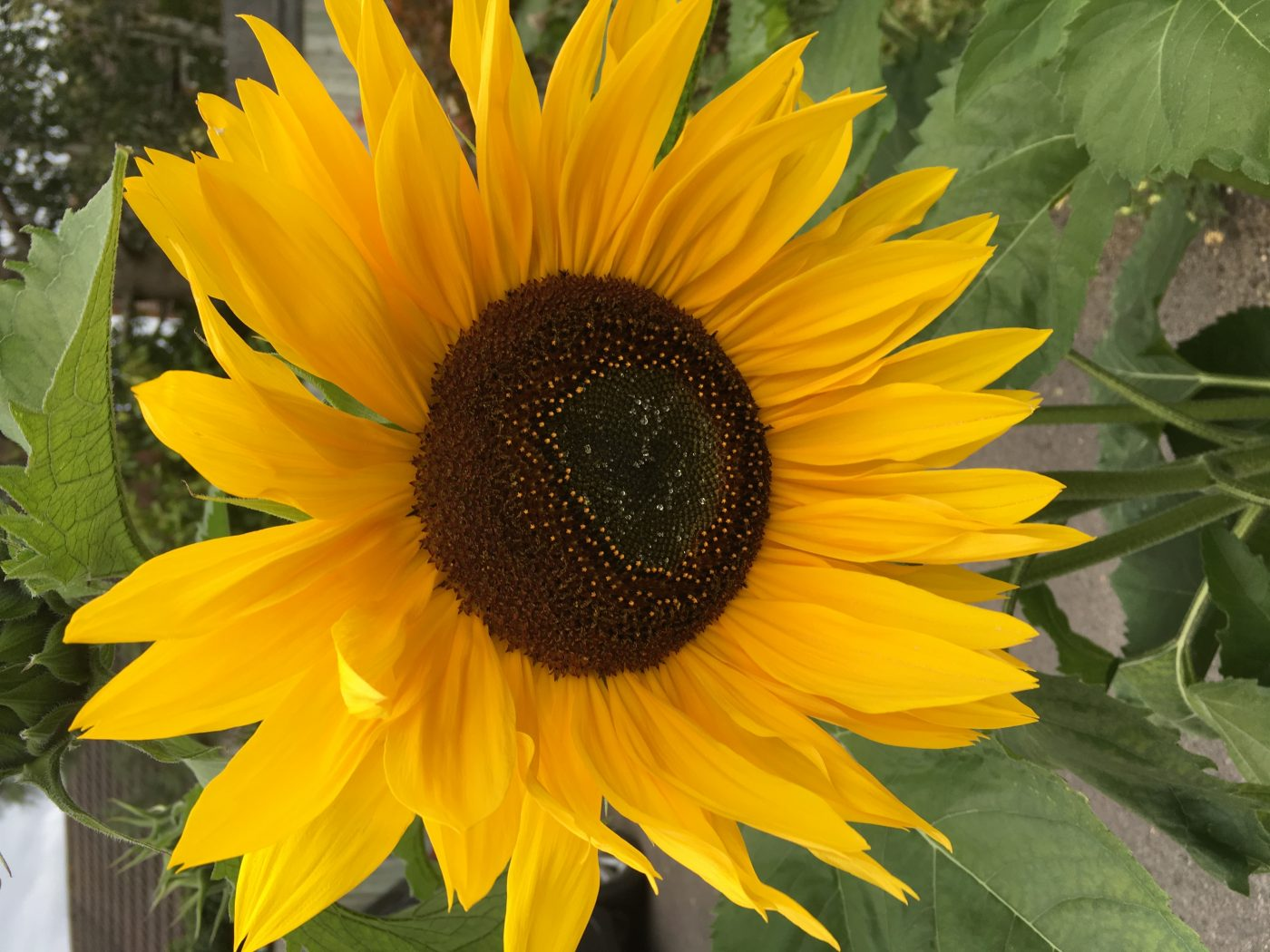 sunflower placeholder image